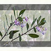 Arctostaphylos Manzanita 'monica' Art Print by Saxon Holt