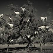 Argan Loving Goats Art Print