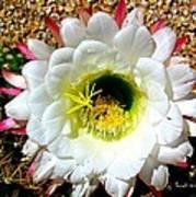 Argentine Cactus Art Print