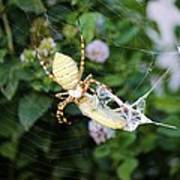 Argiope Spider Top Side Horizontal Art Print