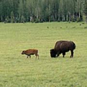 Arizona Bison Art Print