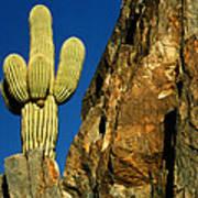 Arizona Sagauro Cactus Art Print
