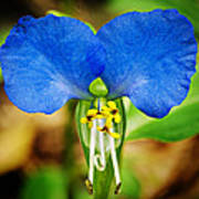 Arkansas Asiatic Dayflower Art Print by Randy Forrester
