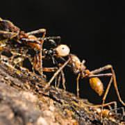 Army Ant Carrying Cricket La Selva Art Print