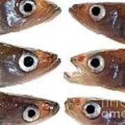 Arrangement Of Small Fish Smelt Art Print