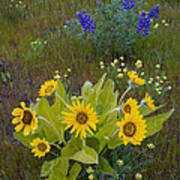 Arrowleaf Balsamroot And Lupine Art Print