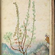 Artemisia Abrotanum Art Print