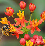 Asclepias Curassavica And Bee Art Print