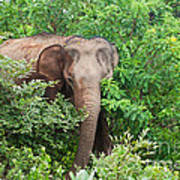 Asian Elephant  Elephas Maximus Art Print