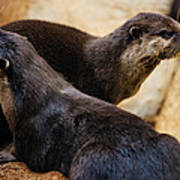 Asian Otters Art Print