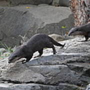 Asian Small Clawed Otter - National Zoo - 01132 Art Print