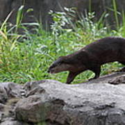 Asian Small Clawed Otter - National Zoo - 01135 Art Print