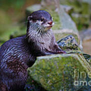 Asian Small Clawed Otter Art Print