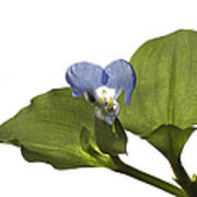 Asiatic Day Flower Art Print