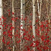 Aspen And Berries Art Print