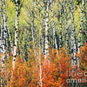 Aspen And Maple Trees In Autumn Art Print