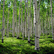 Aspen Glen Art Print by The Forests Edge Photography - Diane Sandoval