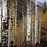 Aspen In The Rockies Art Print