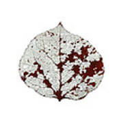 Aspen Leaf Skeleton 2 Art Print