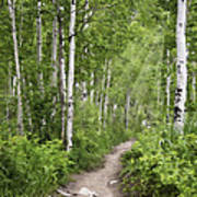 Aspen Path Art Print