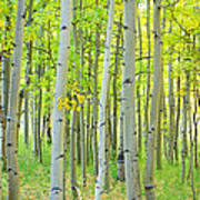 Aspen Tree Forest Autumn Time  Art Print