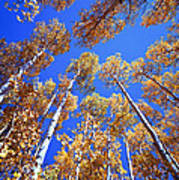 Aspen Tree Tops Art Print