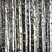 Aspen Tree Trunks Art Print