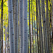 Aspen Trunks Art Print by Inge Johnsson