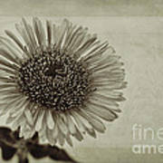 Aster With Textures Print by John Edwards