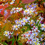 Asters Art Print