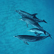 Atlantic Spotted Dolphin Adults Art Print