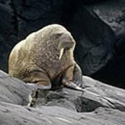 Atlantic Walrus Bull On Rocky Shore Art Print