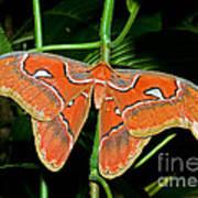 Atlas Moth Art Print
