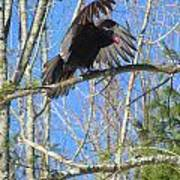 Attack Of The Turkey Vulture Art Print