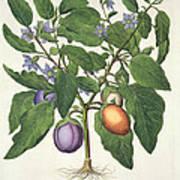 Aubergine Melanzana Fructu Pallido Art Print