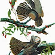 Audubon Chuck-will's Widow Art Print