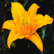 Aurelian Lily Art Print