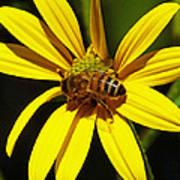 Australian Bee Snacktime Art Print