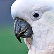 Australian Birds - Cockatoo Up Close Art Print