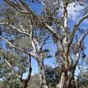 Australian Native Tree 12 Art Print