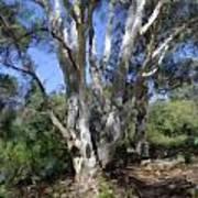 Australian Native Tree 5 Art Print