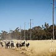 Australian Sheep Art Print