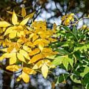 Autumn Ash Tree Leaves Under The Sun Art Print