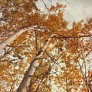 Autumn Aspens Art Print