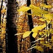 Autumn Birch Trees Art Print