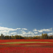 Autumn Blueberry Field Maine Art Print