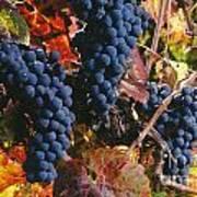 Autumn Cabernet Clusters  Art Print