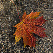 Autumn Colors And Playful Sunlight Patterns - Maple Leaf Art Print