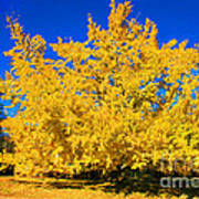 Autumn Colors Gingko Tree  Art Print