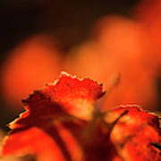 Autumn Grape Leaf Macro Print by Charmian Vistaunet